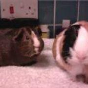 Piggiepigsforever