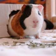 guinealover
