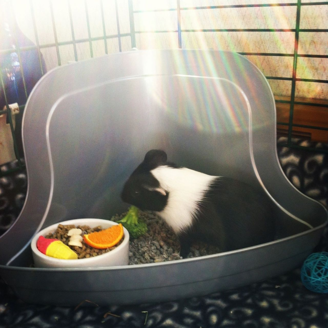 403f8aa1613c2a4a7669853b.jpg - Young female guinea pig for sale with cage