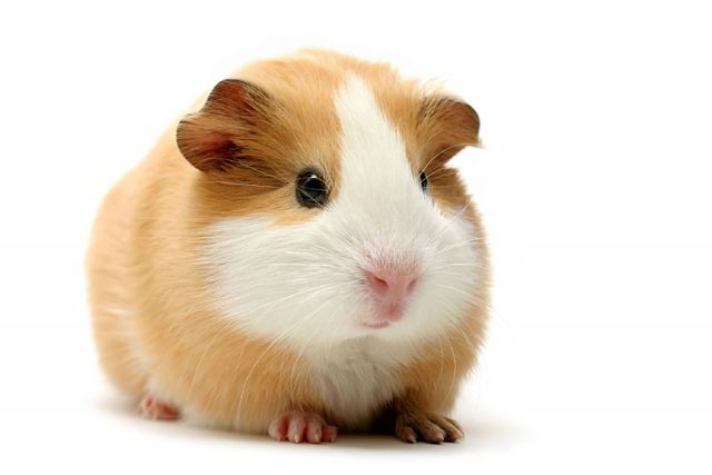 4b126529cc1ca08c222a5ea0.jpg - can anyone help me find a guinea pig like this