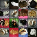 The Cavy Corner Guinea Pig Rescue