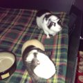 2 male guinea pigs need a loving home. Custom cage and lots of accessories included.