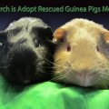 Wheek Care Guinea Pig Rescue
