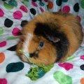 KassysFurryFriends Guinea Pig Rescue
