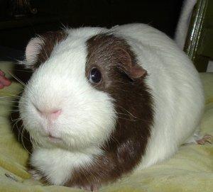 LGPR has guinea pigs seeking new homes! London, ON