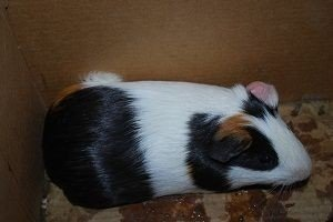 Have A Heart Guinea Pig Rescue- NJ/NJ/PA/DE
