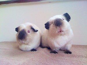 Want to adopt a Himalyan Guinea Pig